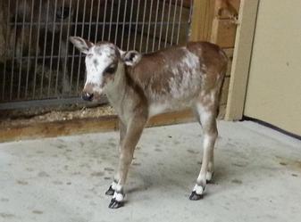 Miniature Zebu Calves At Bogle Farms Sorrento Fl